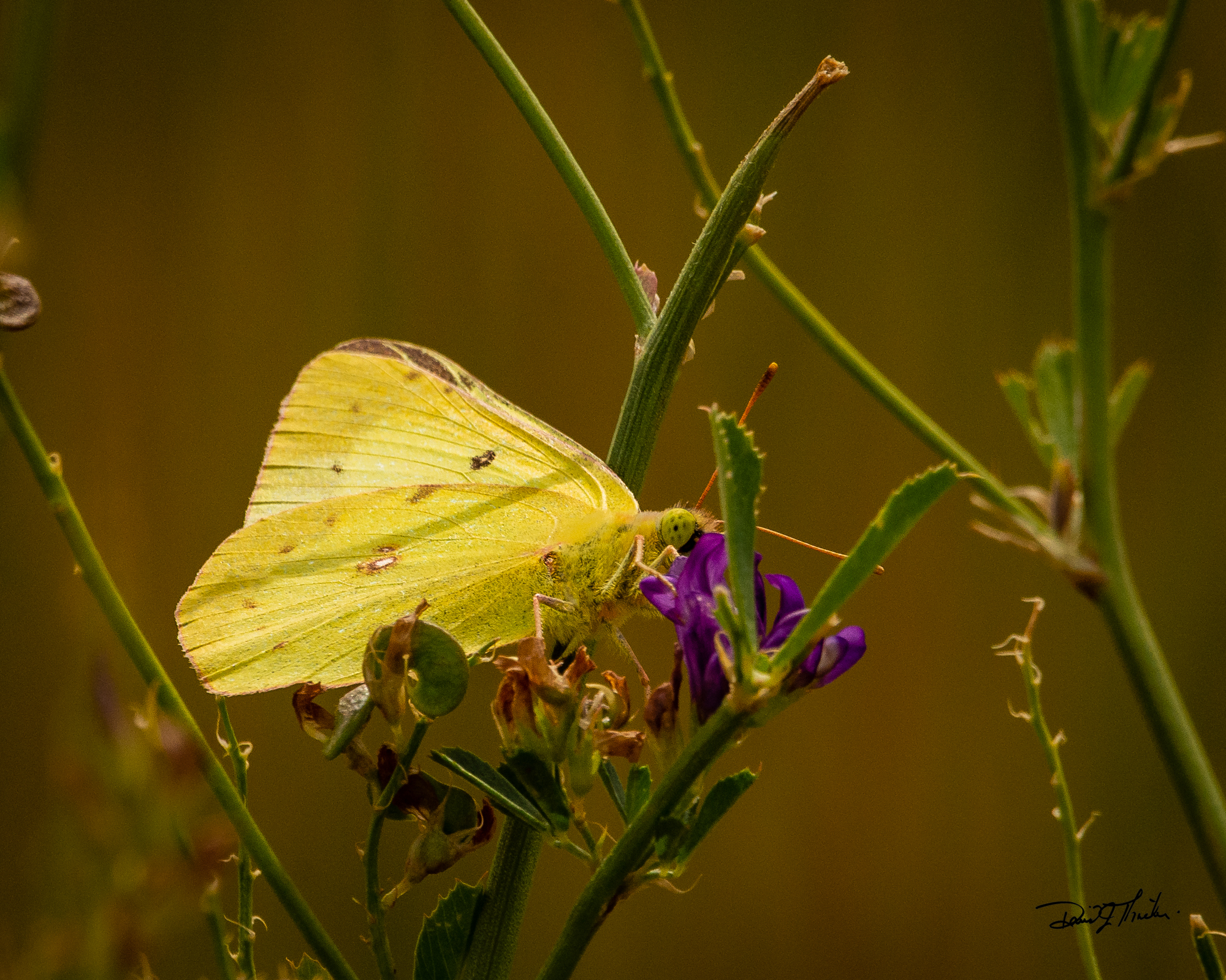 Read more about the article Clouded Sulphur Butterfly